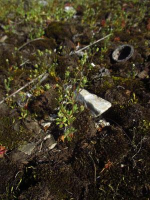 Finger-Steinrech (Saxifraga tridactylites)