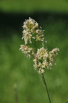 Wiesen-Knäuelgras (Dactylis glomerata)