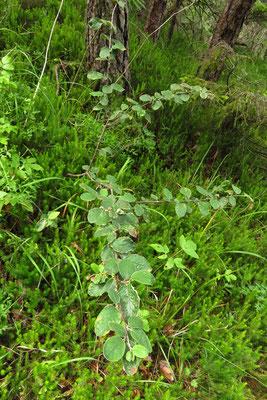Filz-Steinmispel (Cotoneaster tomentosus)