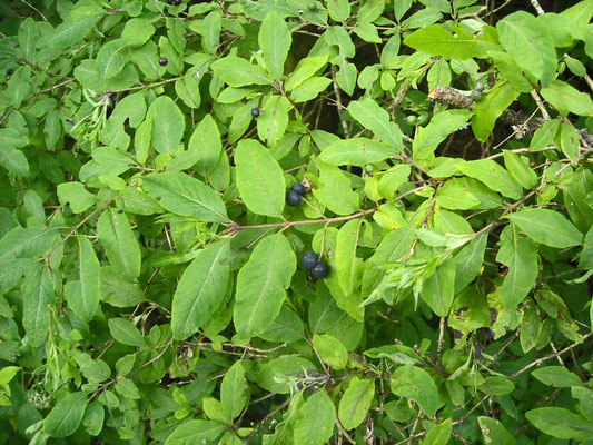Schwarz-Heckenkirsche (Lonicera nigra)