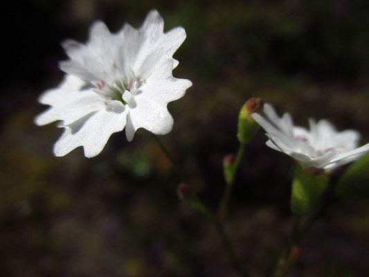 Großer Strahlensame (Heliosperma alpestre)