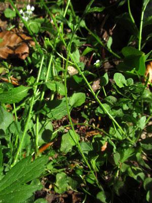 Kriech-Schaumkresse (Arabidopsis halleri) | Ausläufer