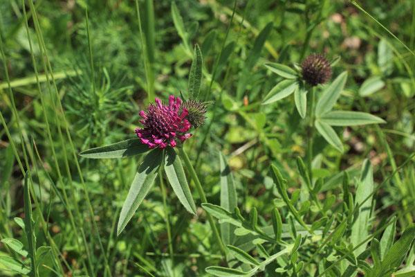 Hügel-Klee (Trifolium alpestre) | Familie: Hülsenfrüchtler