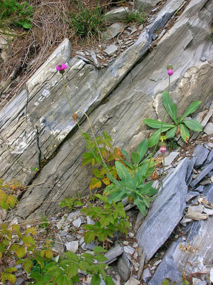 Berg-Ringdistel (Carduus defloratus s.lat.)
