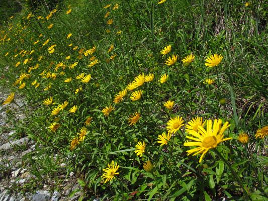 Rindsauge (Buphthalmum salicifolium)