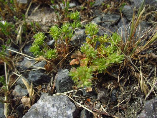 Einjähriger Knäuel (Scleranthus annuus)