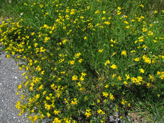 Wiesen-Hornklee (Lotus corniculatus)
