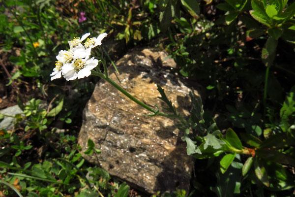 Steinraute (Achillea clavennae) | Fam. Korbblütler (Asteraceae)