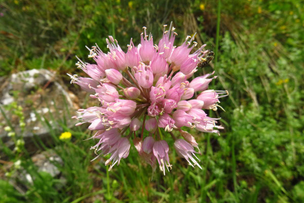 Berg-Lauch (Allium lusitanicum)