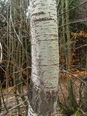 Zitter-Pappel (Populus tremula)   Borke