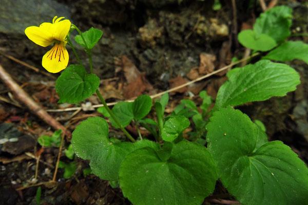 Zweiblüten-Veilchen (Viola biflora) | Fam. Veilchengewächse (Violaceae)