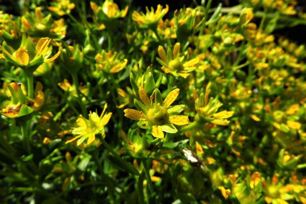 Bach-Steinbrech (Saxifraga aizoides) | Fam. Steinbrechgewächse (Saxifragaceae)