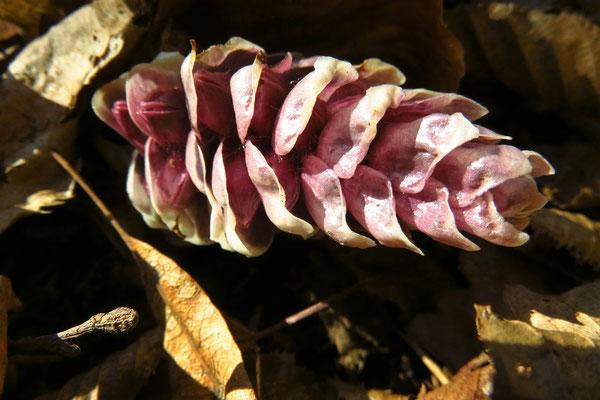 Schuppenwurz (Lathraea squamaria)