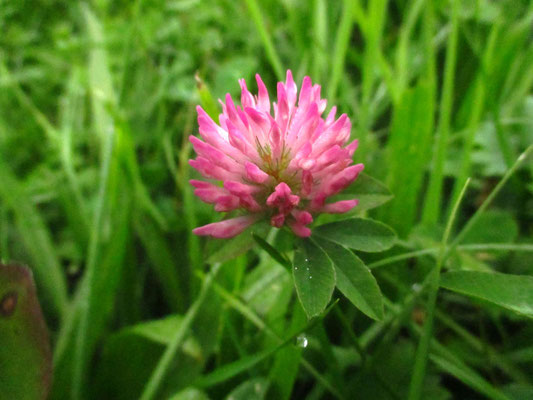Wiesen-Klee (Trifolium pratense)