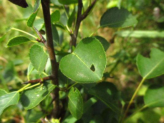 Wild-Birne (Pyrus pyraster)