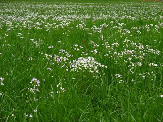 Wiesen-Schaumkraut (Cardamine pratensis agg.)