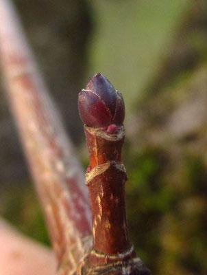 Spitz-Ahorn (Acer platanoides) | Knospe
