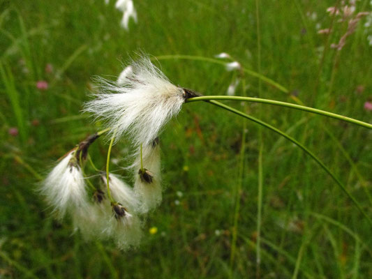 Schmalblatt-Wollgras (Eriophorum angustifolium)