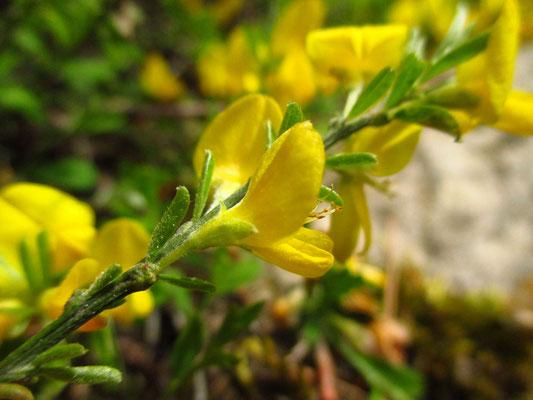 Heide-Ginster (Genista pilosa)