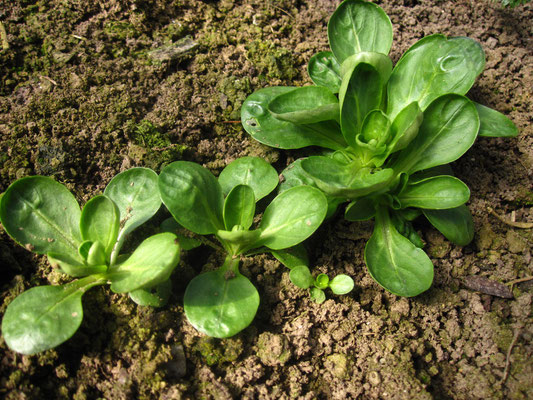 Gewöhnlicher Feldsalat (Valerianella locusta)