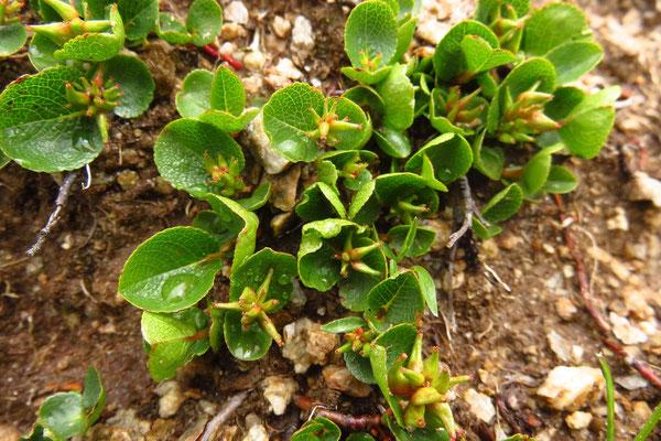 Kraut-Weide (Salix herbaceae) | Fam. Weidengewächse (Salicaceae)