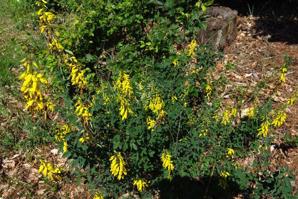 Trauben-Geißklee (Cytisus nigricans) | Fam. Hülsenfrüchtler (Fabaceae)