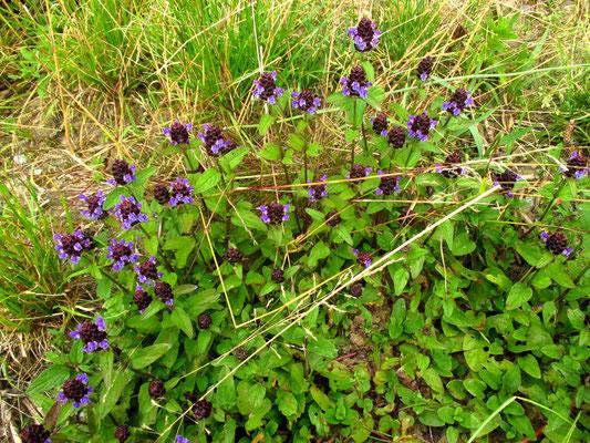 Kleine Brunelle (Prunella vulgaris)