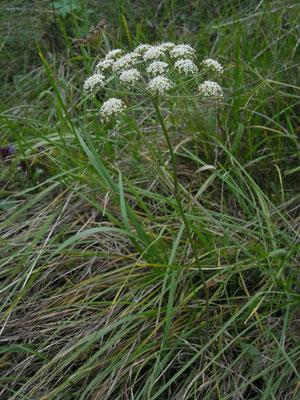 Berg-Haarstrang (Peucedanum oreoselinum)
