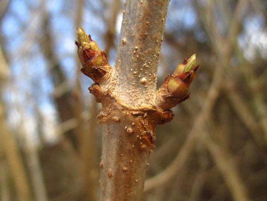 Schwarz-Holunder (Sambucus nigra) | Knospen