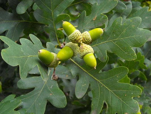 Stiel-Eiche (Quercus robur)   Früchte