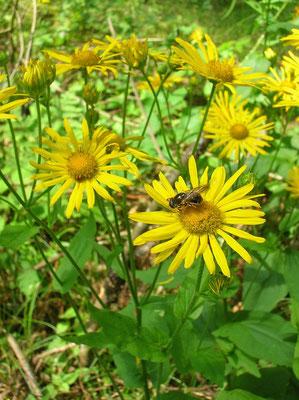 Österreich-Gamswurz (Doronicum austriacum)