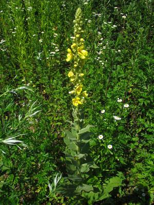Gewöhnliche Königskerze (Verbascum phlomoides)
