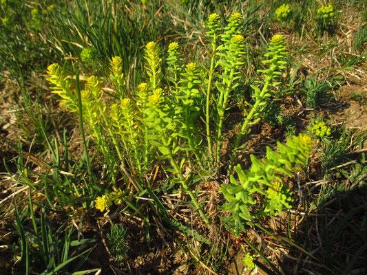 Zypressen-Wolfsmilch (Euphorbia cyparissias) mit parasitierendem Erbsenrost (Pilz)