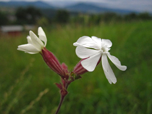 Weiße Lichtnelke (Silene latifolia) | männliche Pflanze
