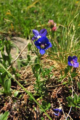 Felsen-Ehrenpreis (Veronica fruticans) | Fam. Wegerichgewächse (Plantaginaceae)