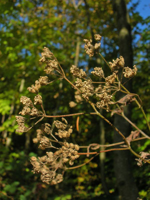 Wald-Borstendolde (Torilis japonica)