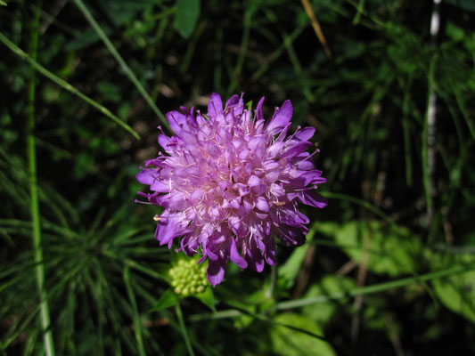 Ungarn-Witwenblume (Knautia drymeia)