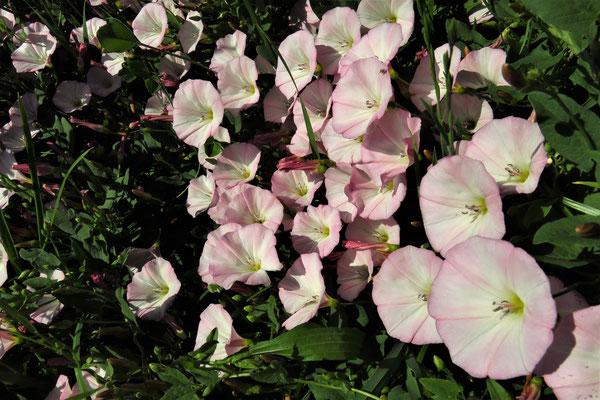 Acker-Winde (Convolvulus arvensis) | Windengewächsen (Convolvulaceae)