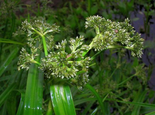 Gewöhnliche Waldbinse (Scirpus sylvaticus)