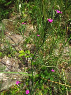 Büschel-Nelke (Dianthus armeria)