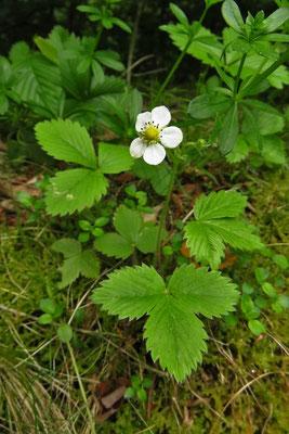 Wald-Erdbeere (Fragaria vesca)