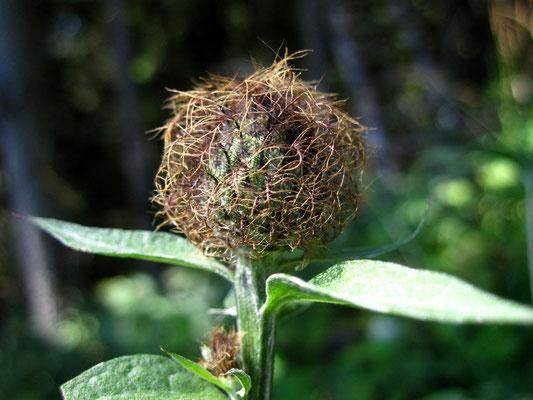 Gewöhnliche Perücken-Flockenblume (Centaurea pseudophrygia)