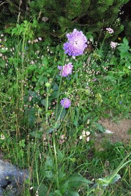 Wald-Witwenblume (Knautia dipsacifolia)