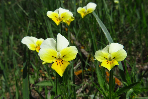 Wild-Stiefmütterchen (Viola tricolor)