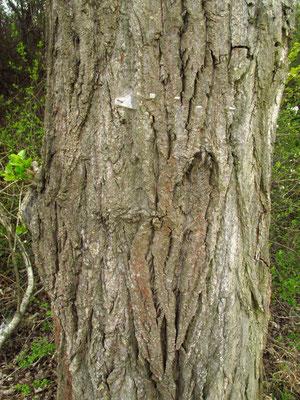 Schwarz-Pappel (Populus nigra)   Borke