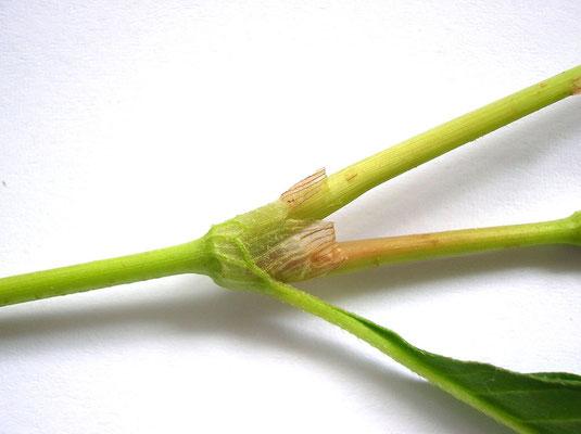 Ampfer-Knöterich (Persicaria lapathifolia)