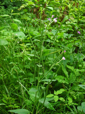 Berg-Weidenröschen (Epilobium montanum)