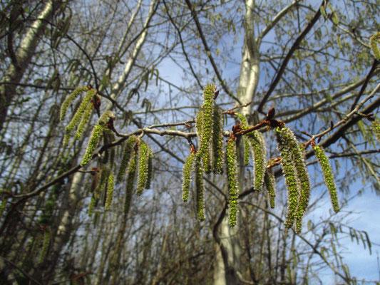 Zitter-Pappel (Populus tremula)   weibliche Blütenstände