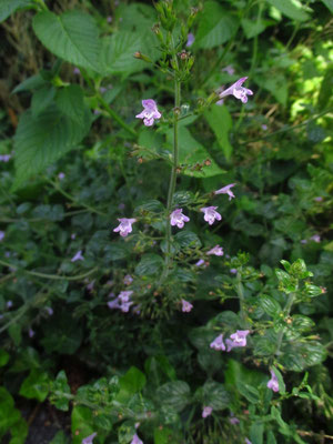 Wald-Bergminze (Clinopodium menthifolium)
