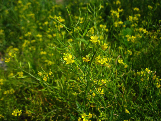 Wild-Sumpfkresse (Rorippa sylvestris)